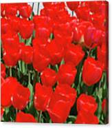 Field Of Brilliant Red Tulip Flowers In A Garden Canvas Print
