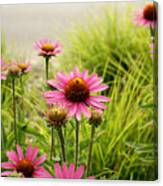 Field Of Coneflowers Canvas Print