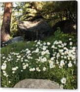 Field Of Daisies In Tahoe Canvas Print