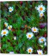 Field Of Daisys  Canvas Print