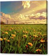 Field Of Dandelions At Sunset Canvas Print