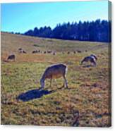 Field Of Ewes Canvas Print
