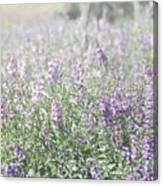 Field Of Lavender Flowers Canvas Print