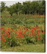 Field Of Poppies On Torcello In Venice Canvas Print