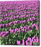 Field Of Purple Flowers Canvas Print
