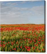 Field Of Red Poppy Anemones Late In Spring  Canvas Print