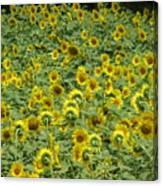 Field Of Sun Canvas Print