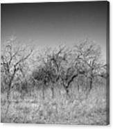 Field Of Trees Canvas Print