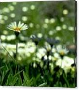 Field Of White Daisies Canvas Print