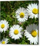 Field Of White Daisy Flowers Art Prints Summer Canvas Print