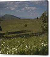 Field Of White Flowers Canvas Print