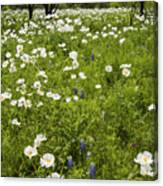 Field Of White Poppies Canvas Print