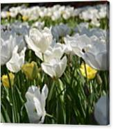 Field Of White Tulips Canvas Print