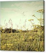 Field Of Wild Dill In The Afternoon Sun  Canvas Print