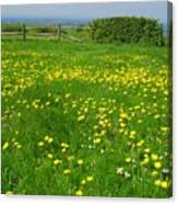Field With Yellow Flowers Canvas Print