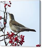 Fieldfare - 2 Canvas Print