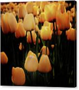 Fields Of Yellow Tulips Canvas Print