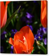 Fiery Colored Tulips Canvas Print