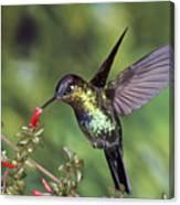 Fiery-throated Hummingbird Panterpe Canvas Print