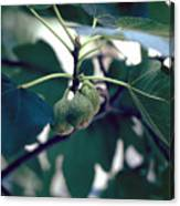 Fig Canvas Print