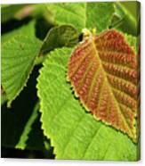 Filbert Leaf Canvas Print