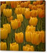 Fine Lines In Yellow Tulips Canvas Print