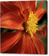 Fire Dahlia Canvas Print