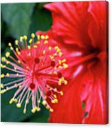 Fireworks - Hibiscus Canvas Print