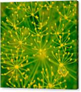 Fireworks Of Dill Flowers Canvas Print