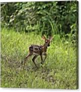 First Baby Fawn Of The Year Canvas Print