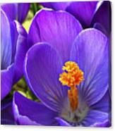 First Crocus Canvas Print