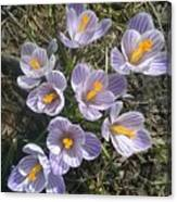 First Crocuses Of Spring 2015 Canvas Print