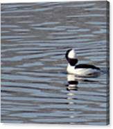 First Day Of Spring Bufflehead2 Canvas Print