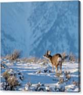 First Rut Mule Deer Buck Canvas Print