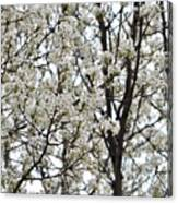 First Spring Blossom Canvas Print