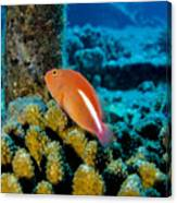 Fish On Coral Canvas Print