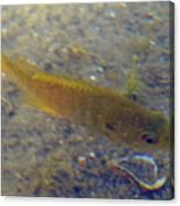 Fish Sandy Bottom Canvas Print