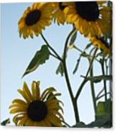 Five Sunflowers To The Sky Canvas Print
