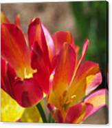 Flaming Tulips Canvas Print
