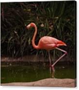 Flamingo 1 San Diego Zoo Canvas Print