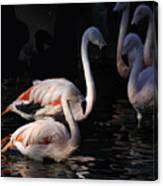 Flamingo Study - 2 Canvas Print