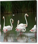 Flamingoes And Their Reflections Canvas Print