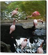 Flamingoes At The Zoo Canvas Print