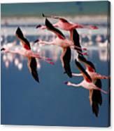 Flamingos In Flight-signed Canvas Print