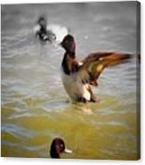 Flapping Lesser Scaup Canvas Print