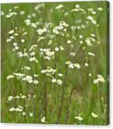 Fleabane In The Meadow Canvas Print