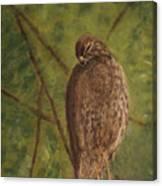 Fledged Red-shouldered Hawk Canvas Print