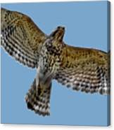 Flight Of The Red Shouldered Hawk Canvas Print