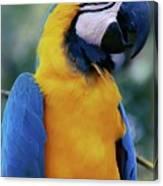 Flirtacious Macaw Canvas Print