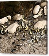 Flock Of Butterflies Panarama Canvas Print